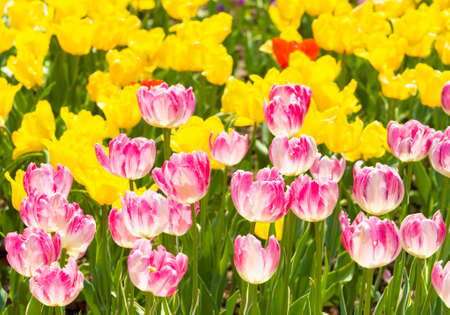 flowerbed: Flowerbed with many tulips of pink and yellow colour, horizontal orientation. Stock Photo