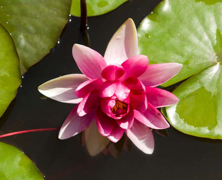 crimson colour: One big water lily of crimson (raspberry pink) colour on water.