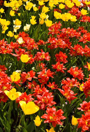 vertical orientation: Flowerbed with many red and yellow tulips, vertical orientation. Stock Photo