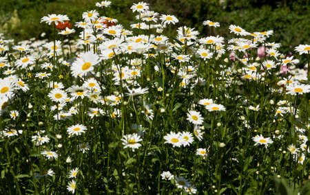 matricaria: Meadow in blossom with many white camomiles.