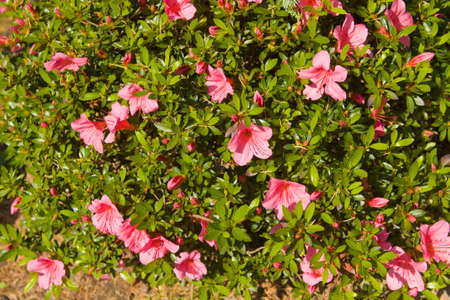 tropical shrub: Tropical shrub rhododendron with many pink flowers.