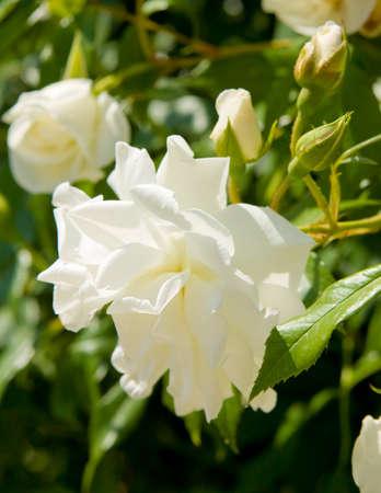 jardines con flores: Una gran flor rosa color blanco en las hojas verdes.