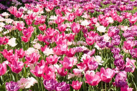 flowerbed: Flowerbed with many pink and violet tulips.