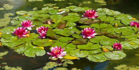 crimson colour: Few water lilies of crimson colour on water. Stock Photo