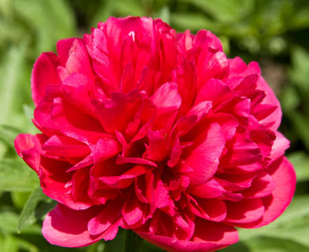 big flower: One big flower peony crimson colour closely.