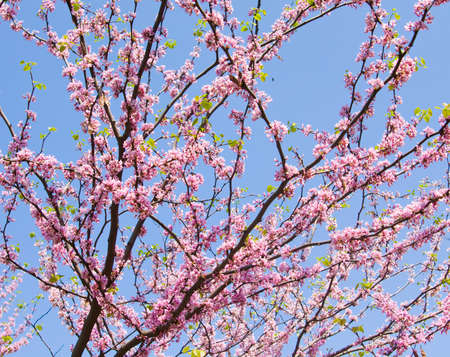 canadensis: Branches of Cercis Canadensis (Eastern Redbud) in blossom with pink flowers on blue sky.