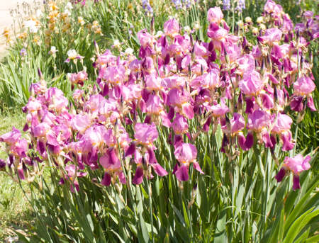 flowerbed: Flowerbed with many irises of purple colour.
