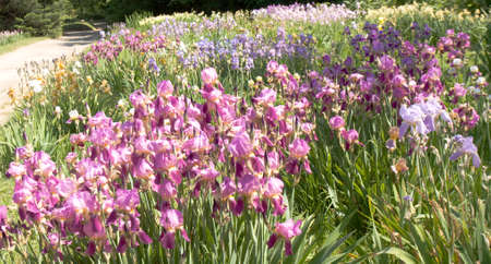 helen: Big flower bed with many irises of purple and blue colours, recorded in University Botanic gardens Ecopark in Saint Constantine and Saint Helen resort, Bulgaria. Stock Photo