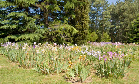 constantine: Big flowerbed with many irises of different colours, recorded in University Botanic gardens Ecopark (Ecological park) n Saint Constantine and Saint Helen resort, Bulgaria.