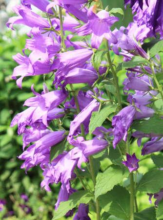 bluebell: Many bluebell flowers in garden, vertical.