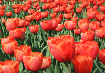 flowerbed: Many red tulips on flower-bed. Stock Photo
