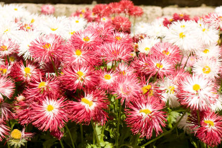 flowerbed: Flowerbed with many daisies of pink and white colours closely.