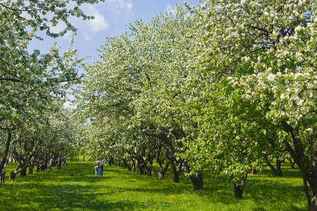 sight seeing: MOSCOW - MAY 22 2011: people walking in apple gardens in blossom in park of museum - kings estate Kolomenskoye, popular place of sight seeing of the city, exist from 14 century.