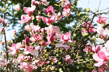 Branches of magnolia tree with pink flowers stock photo picture branches of magnolia tree with pink flowers stock photo 50249517 mightylinksfo