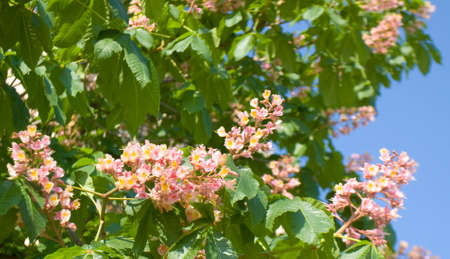 chestnut tree: Flowers of chestnut tree of pink colour on blue sky.