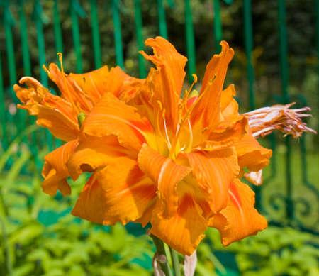 orange lily: Big flower orange lily on garden.