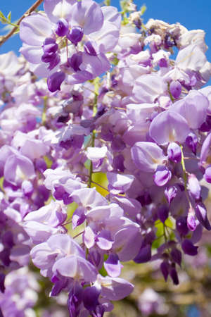 wistaria: Branch of wistaria flower of purple colour on blue sky. Stock Photo