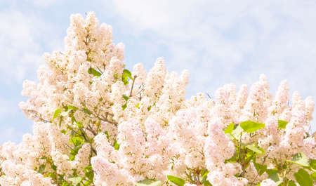 lila: Lila branches in blossom with many flowers on blue sky. Stock Photo