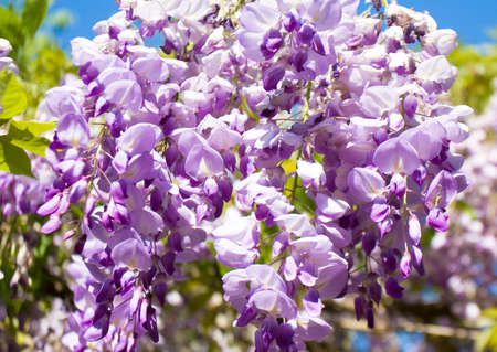 wistaria: Branch of wistaria with purple flowers on blue sky closely.