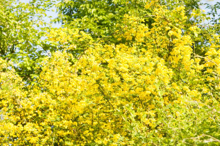 constantine: Shrub with many yellow flowers Yellow acacia, latin name caragana arborescens, recorded in Bulgaria, resort Saint Constantine and Saint Helen.