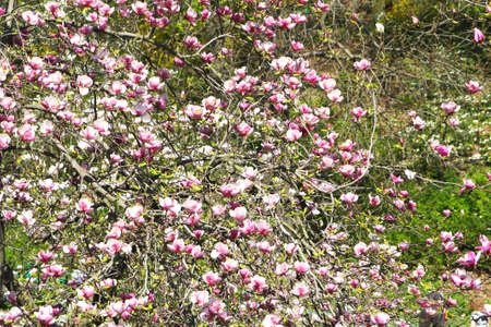many branches: Branches of magnolia tree with many pink flowers.