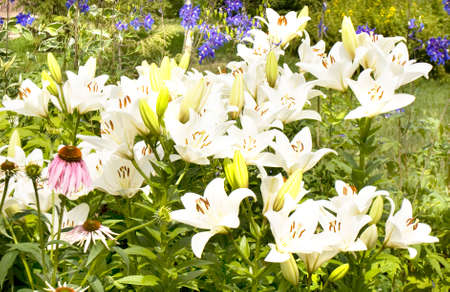 flowerbed: Flowerbed with many white lilies in garden.