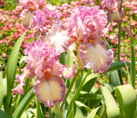 botanic: Two pink irises, sort Brazen beauty, collection of Nikitskiy botanic garden in town Yalta, Ukraine.