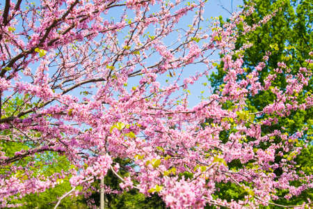 redbud: Branches of Eastern Redbud, also called as Judas tree, latin name Cercis Canadensis, in blossom with pink flowers on blue sky.