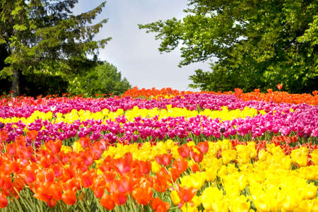 big flower: Big flower bed, like field of many tulips of different colours - red, yellow, purple.