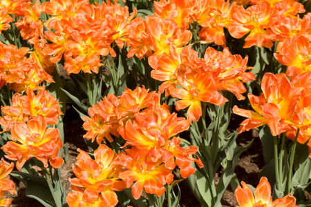 flowerbed: Flowerbed with many tulips of red colour.