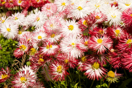 flowerbed: Many pink and white daisies on flowerbed.