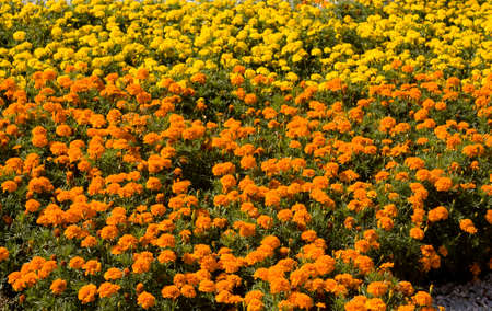 flowerbed: Flowerbed with yellow and orange marigold flowers. Stock Photo