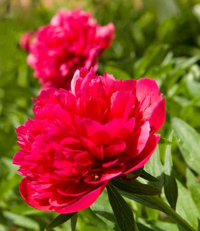 crimson colour: Big peony flower of crimson (raspberry pink) colour on natural green leaves background.