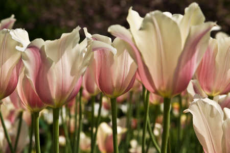 pale colour: Few tulips of pale mixed pink and white colour on flowerbed.