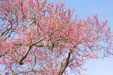 recorded: Branches of Cercis European tree in blossom with pink flowers on blue sky, recorded in Saints Constantine and Helen resort, Bulgaria.