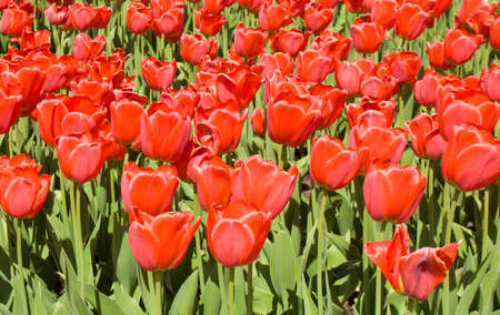 flowerbed: Flowerbed with many red tulips in garden.
