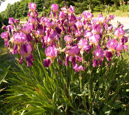 flower bed: Flower bed with many irises of purple colour. Stock Photo