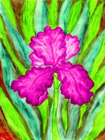Hand painted picture, watercolours, iris of pink colour. Size of original 27 x 21 sm. Reklamní fotografie