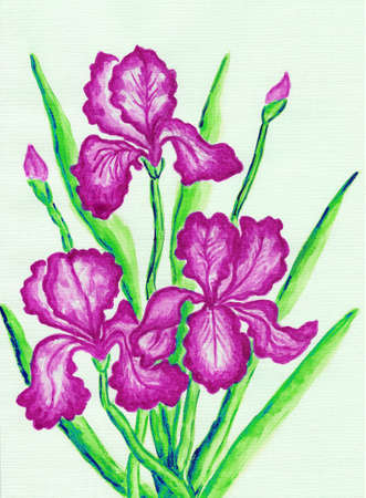 sm: Three pink irises, hand painted picture, watercolours. Size of original 29,5 x 21 sm. Stock Photo