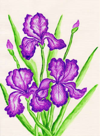 sm: Three purple irises, hand painted picture, watercolours. Size of original 29,5 x 21 sm. Stock Photo