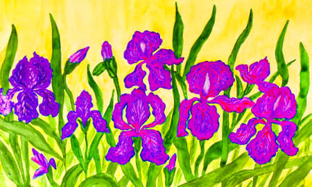 flower bed: Hand painted picture, watercolours, flower bed with many blue, pink and purple irises on yellow background.  Size of original 42 x 30 sm.