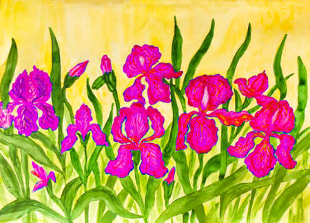 flower bed: Hand painted picture, watercolours, flower bed with many pink irises on yellow background.  S