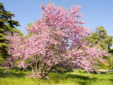 helen: Cercis tree in blossom in park of Saint Constantine and Helen resort, Bulgaria.