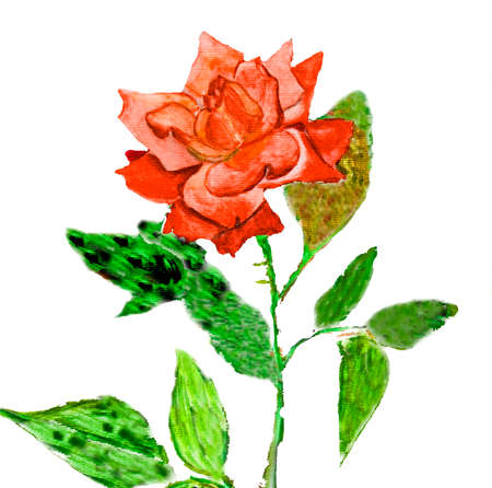 red rose: Hand painted picture, watercolors - rose red colour. Stock Photo