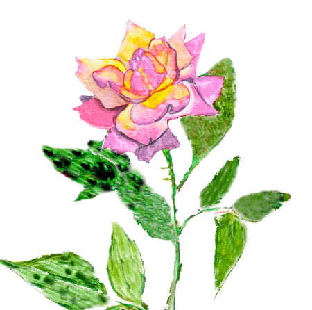 gloria: Hand painted picture, watercolours - rose mixed yellow and pink colours, kind Gloria Dei, another name Peace rose.