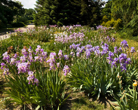 helen: Big flowerbed with blue irises, recorded in University Botanic garden Ekopark in resort Saints Constantine and Helen, Bulgaria. Stock Photo