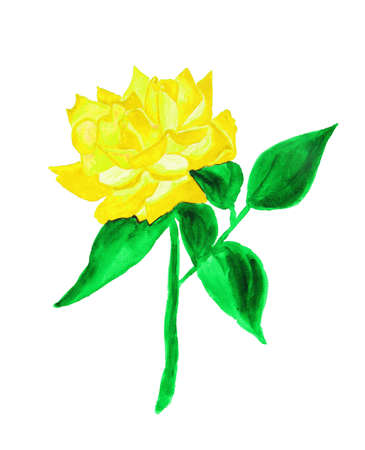 yellow rose: Yellow rose, hand drawn painting, watercolor.
