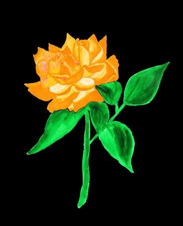orange rose: Orange rose, hand drawn painting, watercolor.