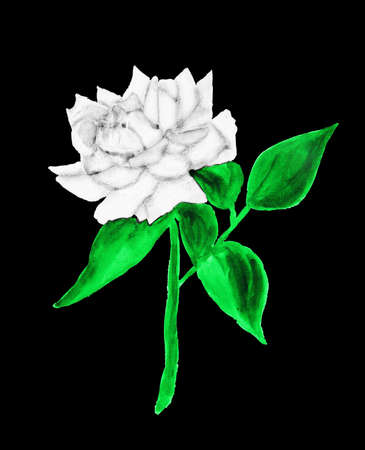 white colour: White rose, hand drawn painting, watercolor.