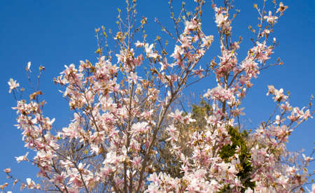 Branches of magnolia tree with pink-white colour flowers on blue sky, recorded in Saints Constantine and Helena resort, Bulgaria. Stock Photo